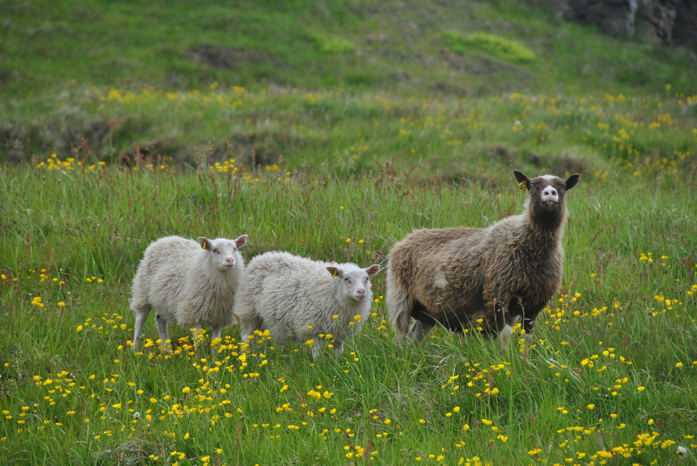 Sheep living on Grimsey Island.