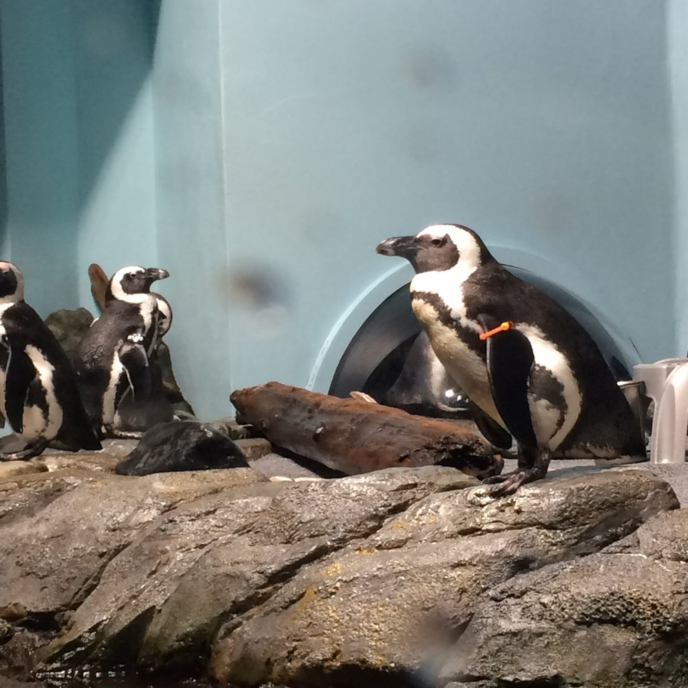Penguins, Monterey Bay Aquarium