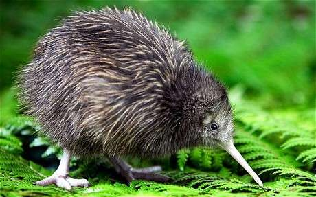 The adorable Kiwi bird!
