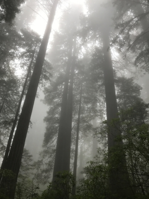 Magical, mystical redwood trees in Redwood State/National Park at the top of California.