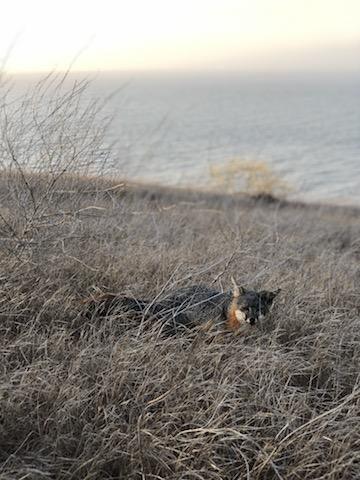 A previously endangered, adorable island fox.