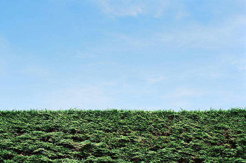 Garden Hedge and blue sky.jpg
