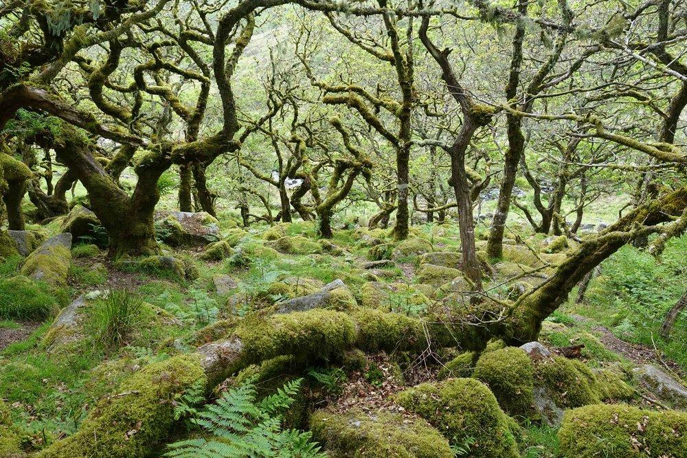 Wistman's Wood, Dartmoor, England  (Humphrey Butler / Marvellous Maps)