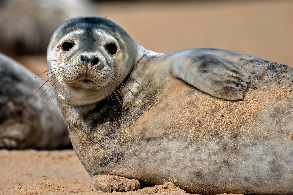 Grey seal pup on the North Norfolk Coast  (Alan De Witt/Shutterstock)