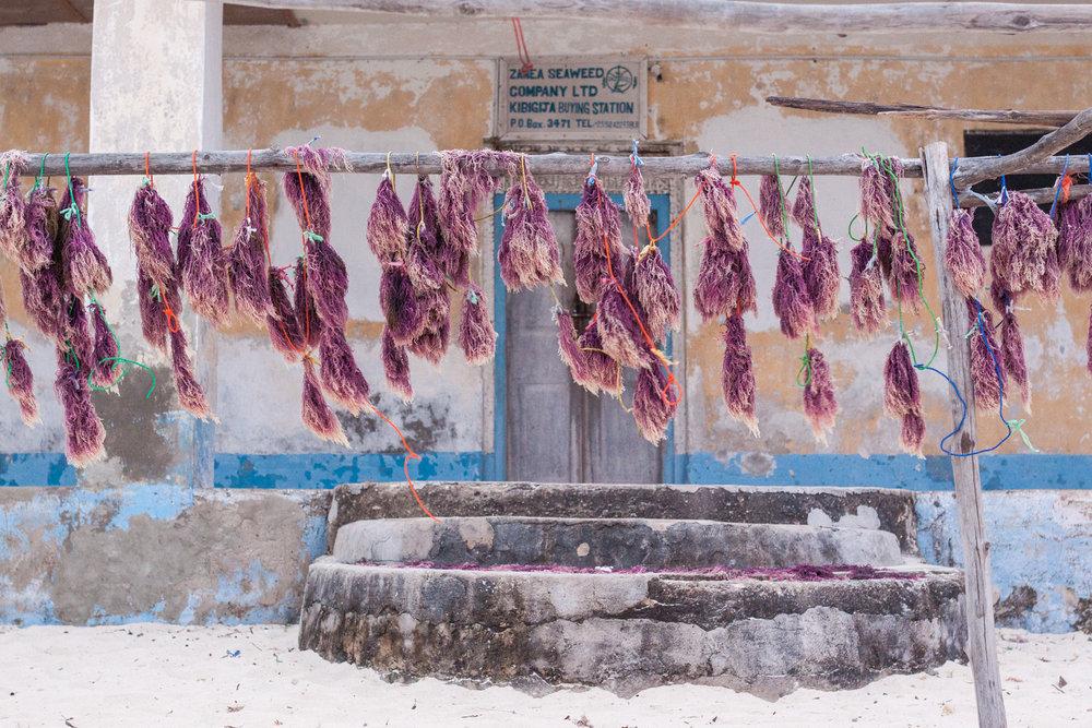 Seeweed drying, Zanzibar