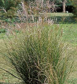 Chinese Silvergrass   Miscanthus sinensis Anderss.