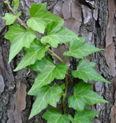 English Ivy                 Hedera helix