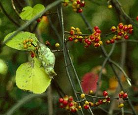 Oriental Bittersweet Celastrus orbiculatus Thunb
