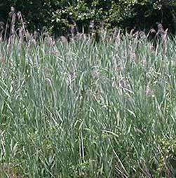 Phragmites/Common Reed     Phragmites australis