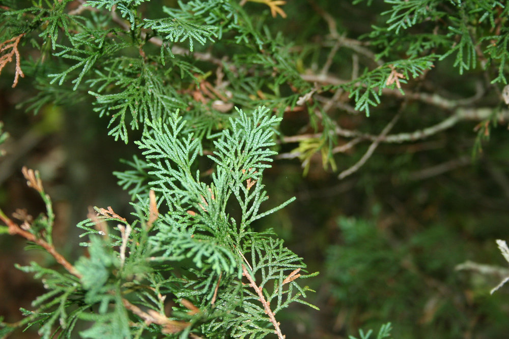 Atlantic White Cedar.jpg