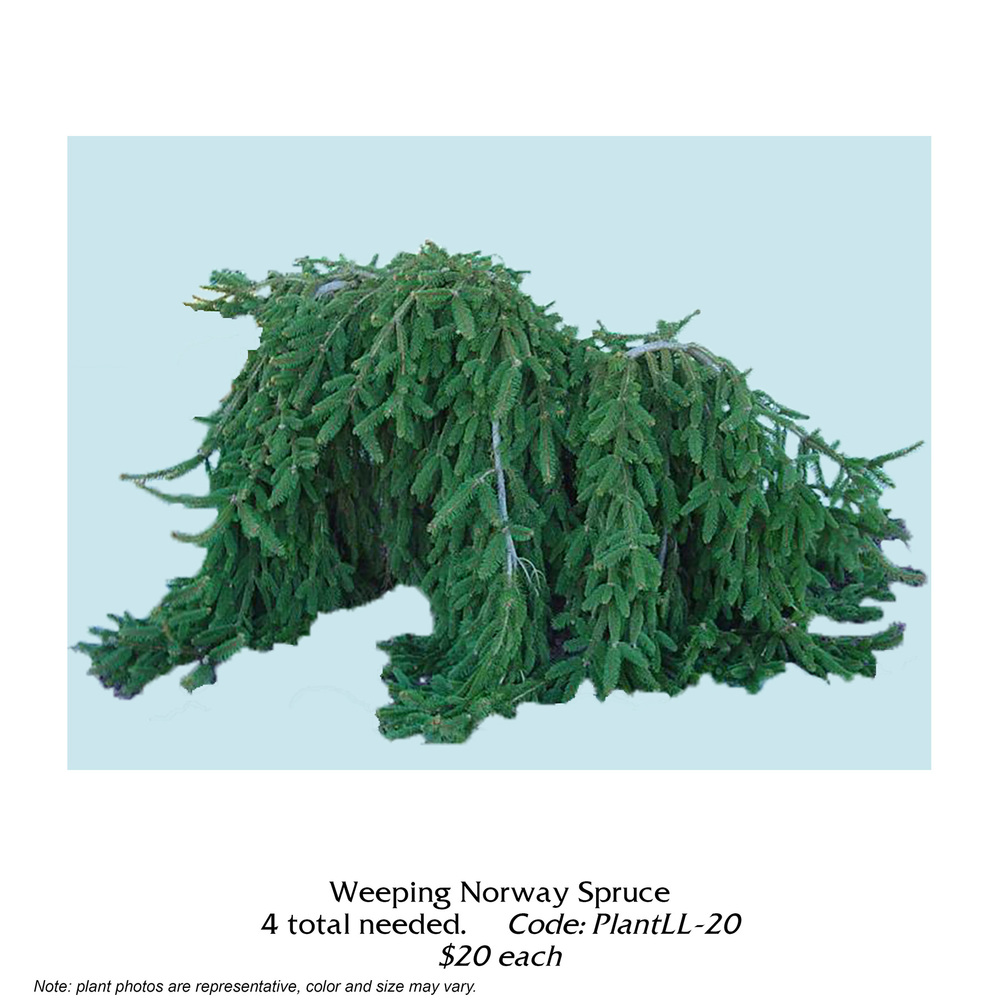 weeping norway spruce.jpg