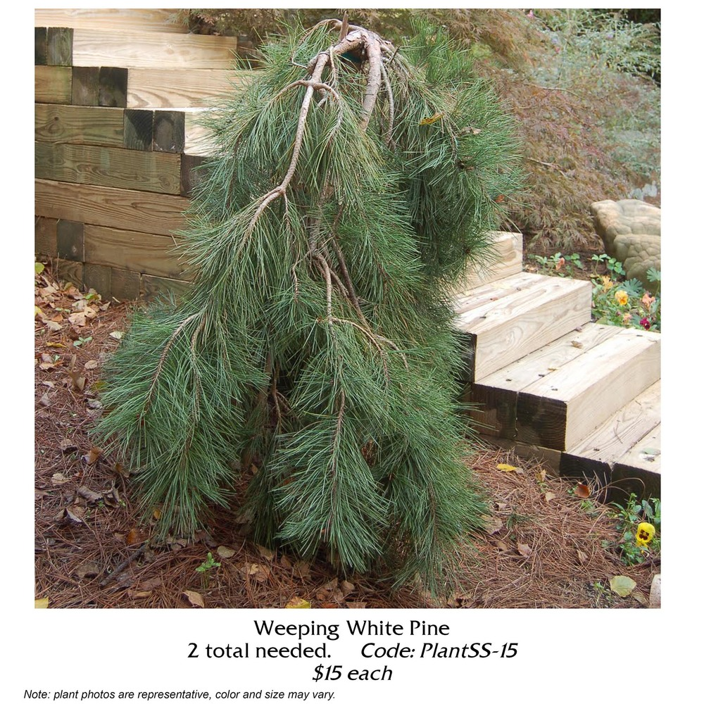 weeping white pine.jpg