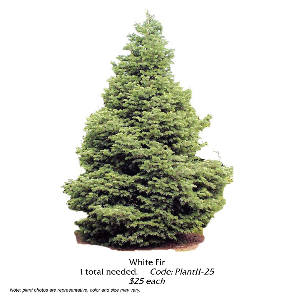 white fir tree.jpg