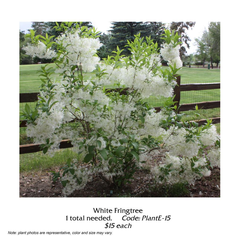 White fringetree.jpg
