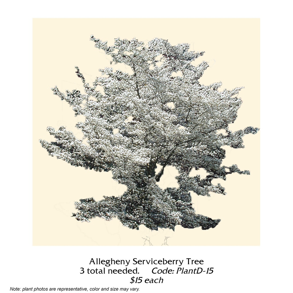 Allegheny Serviceberry tree.jpg