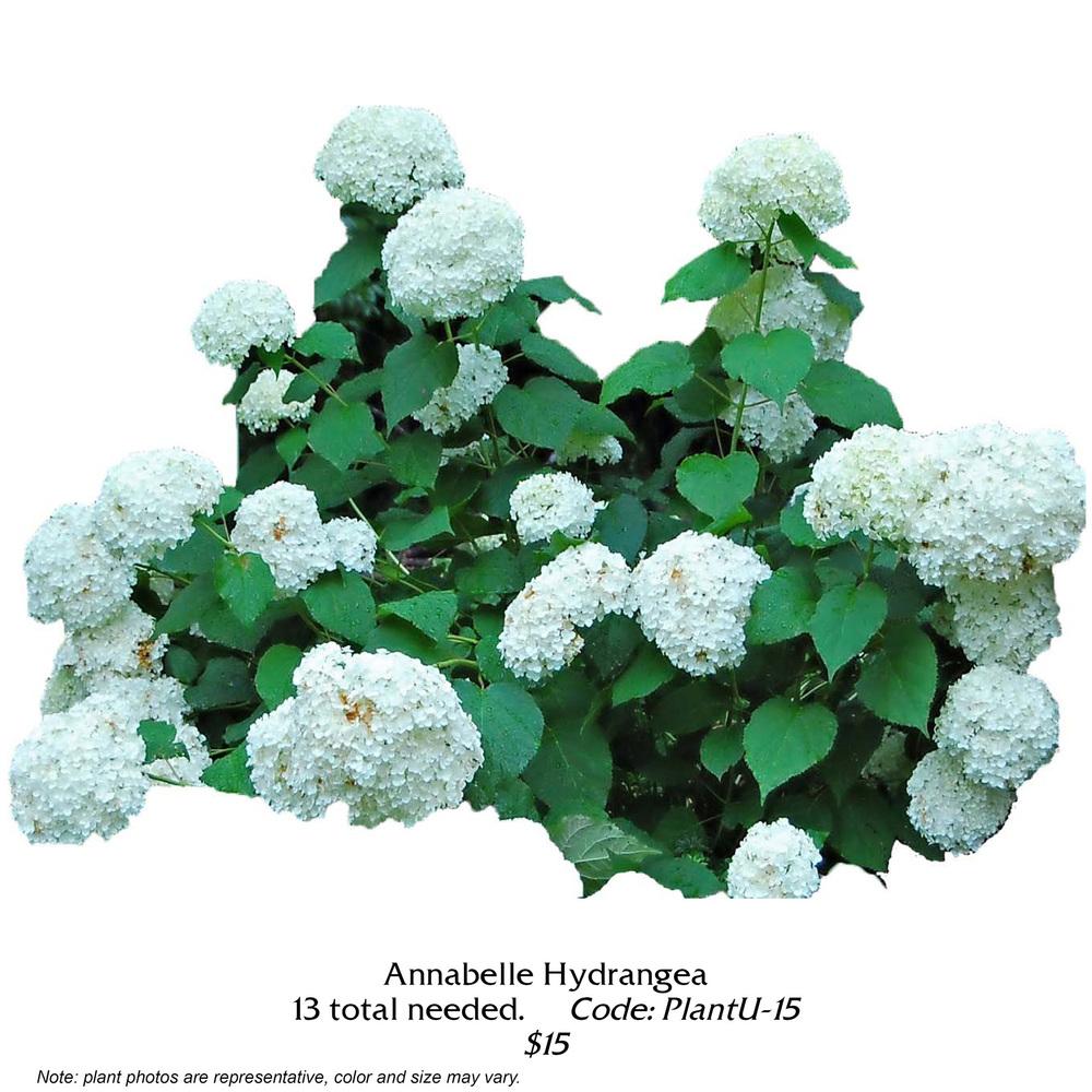Annabelle Hydrangea.jpg