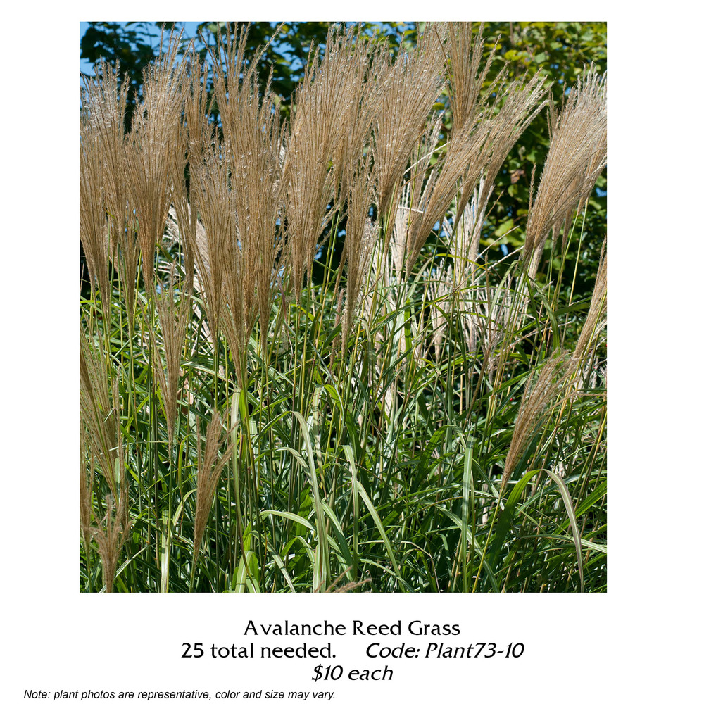 avalanche reed grass.jpg