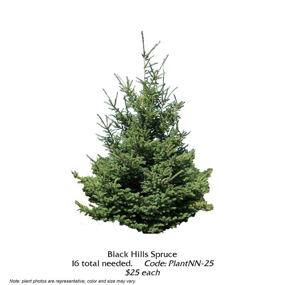 black hills spruce.jpg