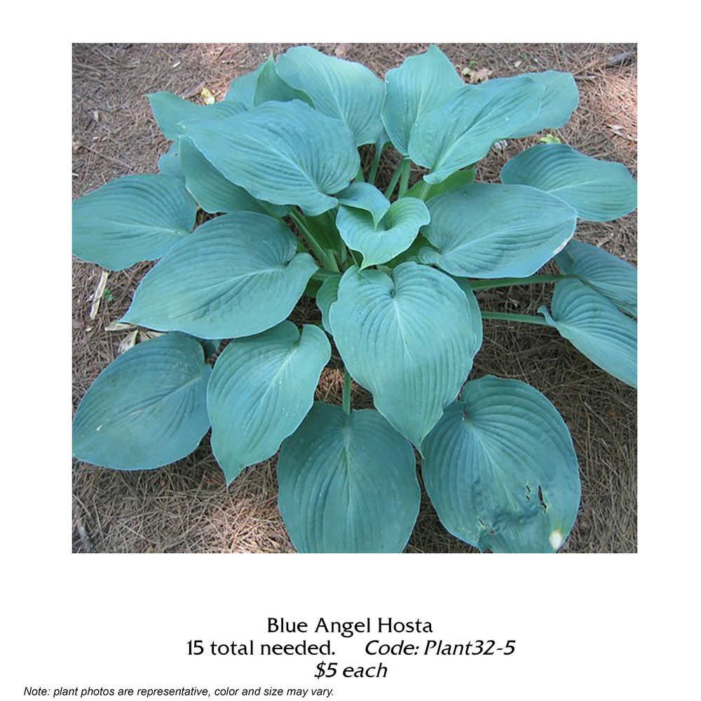 blue angel hosta.jpg