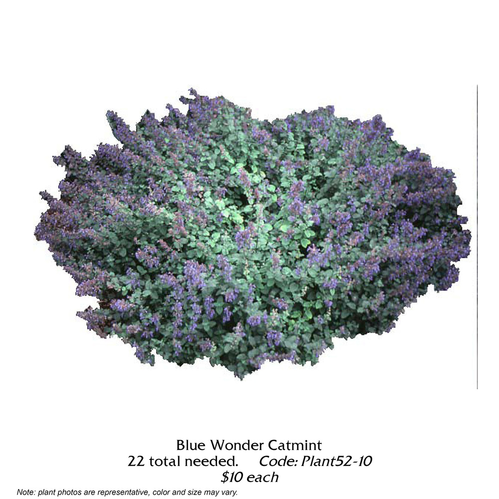 blue wonder catmint.jpg