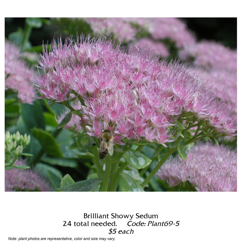 brilliant showy sedum.jpg