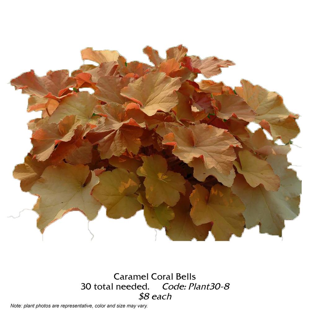 Caramel Coral Bells.jpg