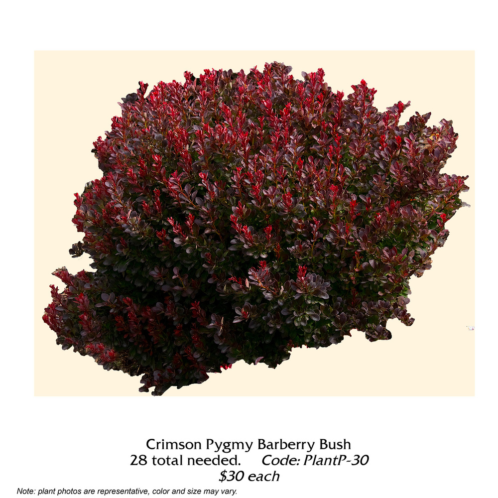 Crimson Pygmy Barberry Bush.jpg