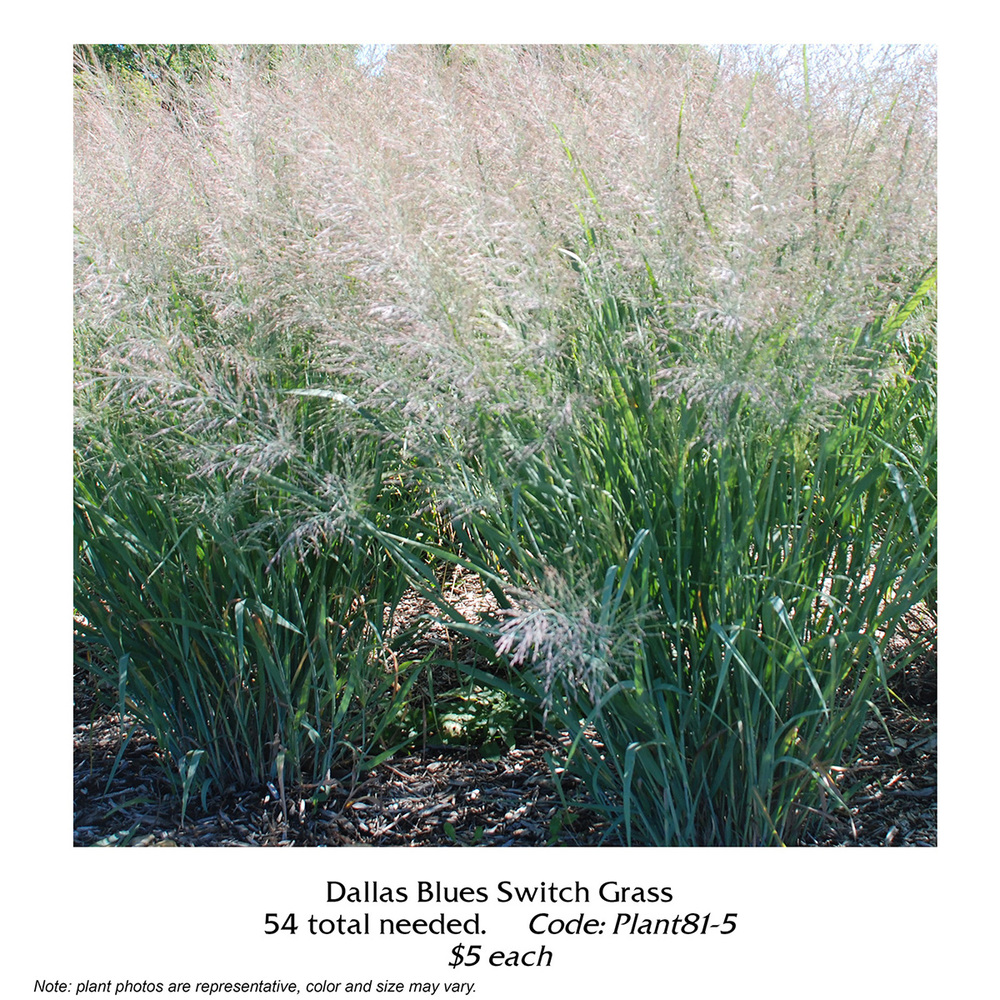 dallas blues switch grass.jpg