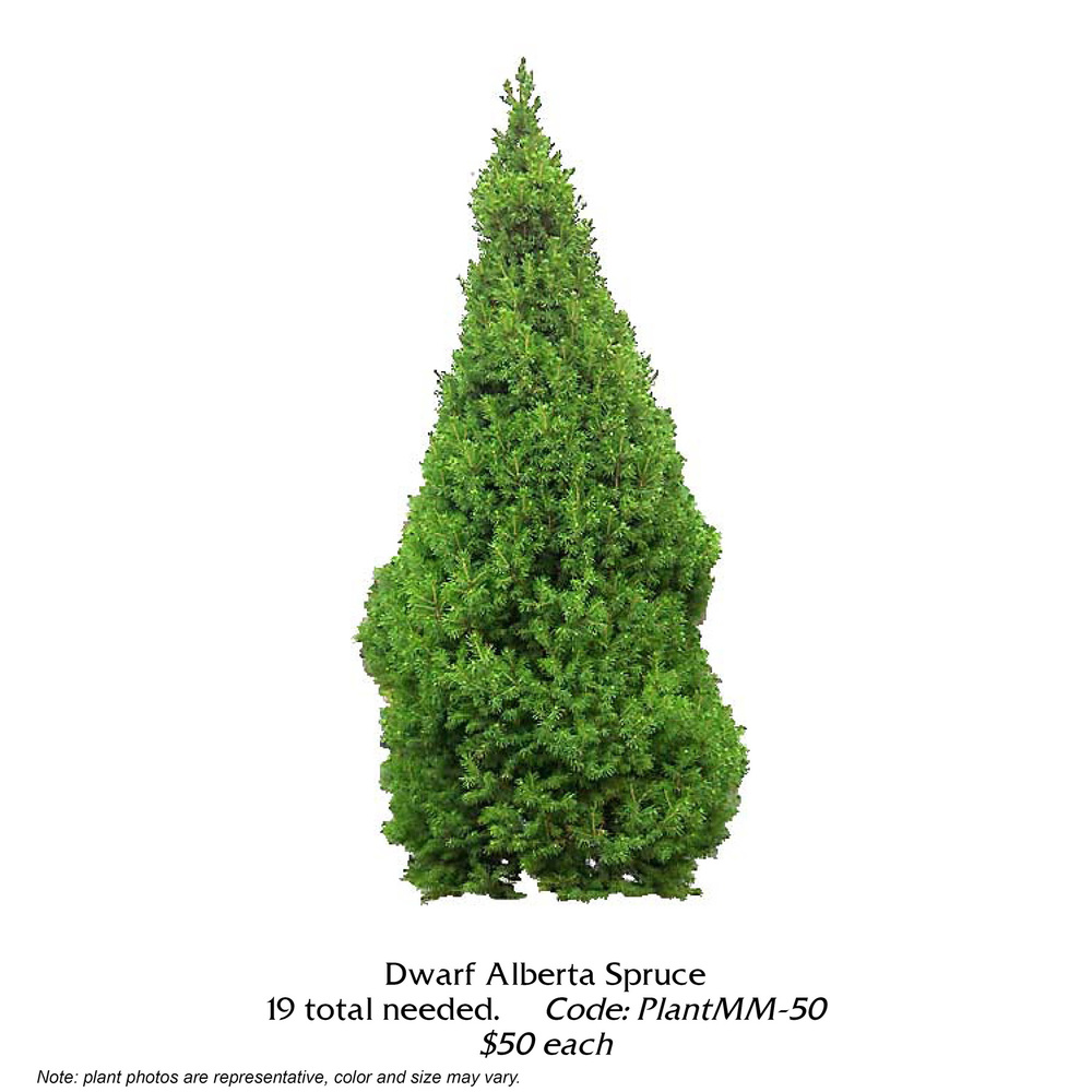 dwarf alberta spruce.jpg