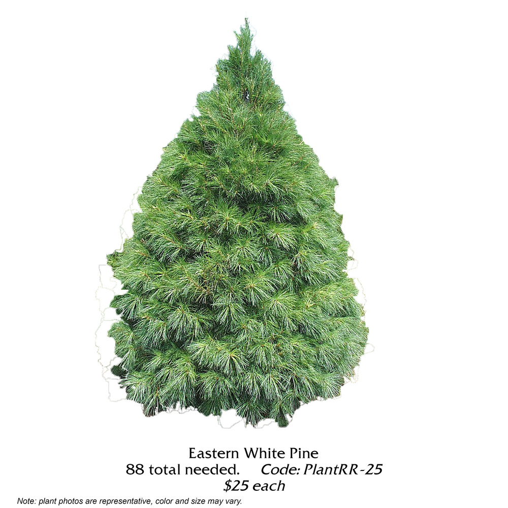 eastern white pine.jpg
