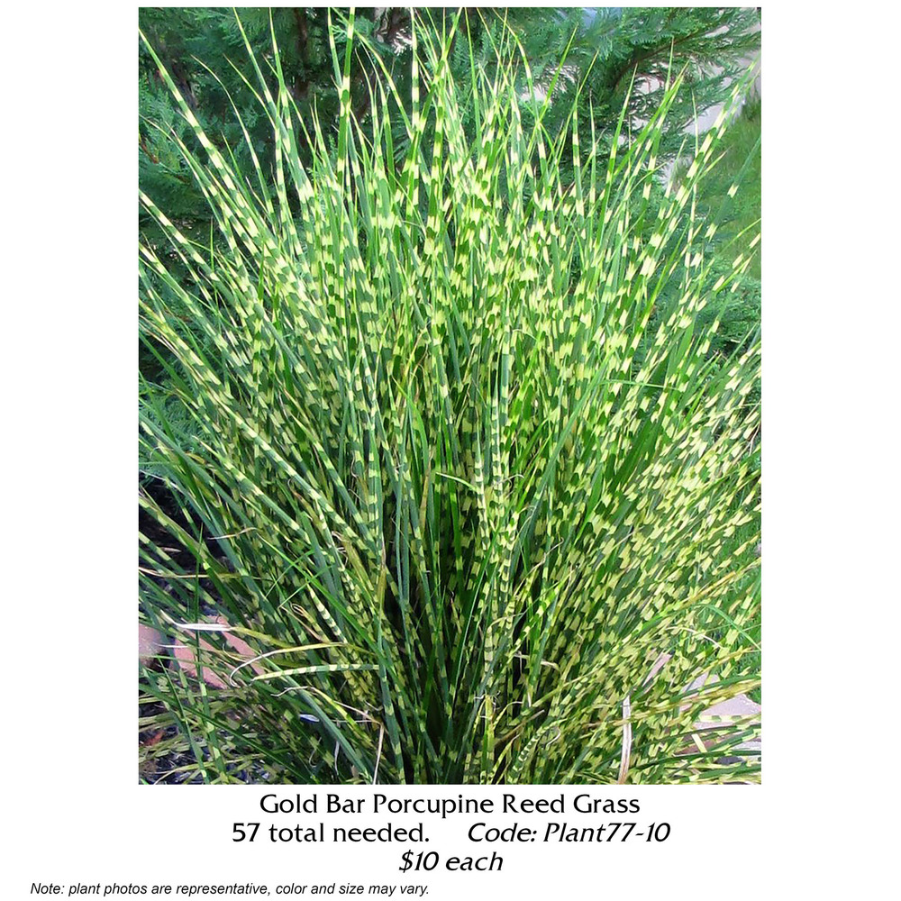 gold bar porcupine grass.jpg