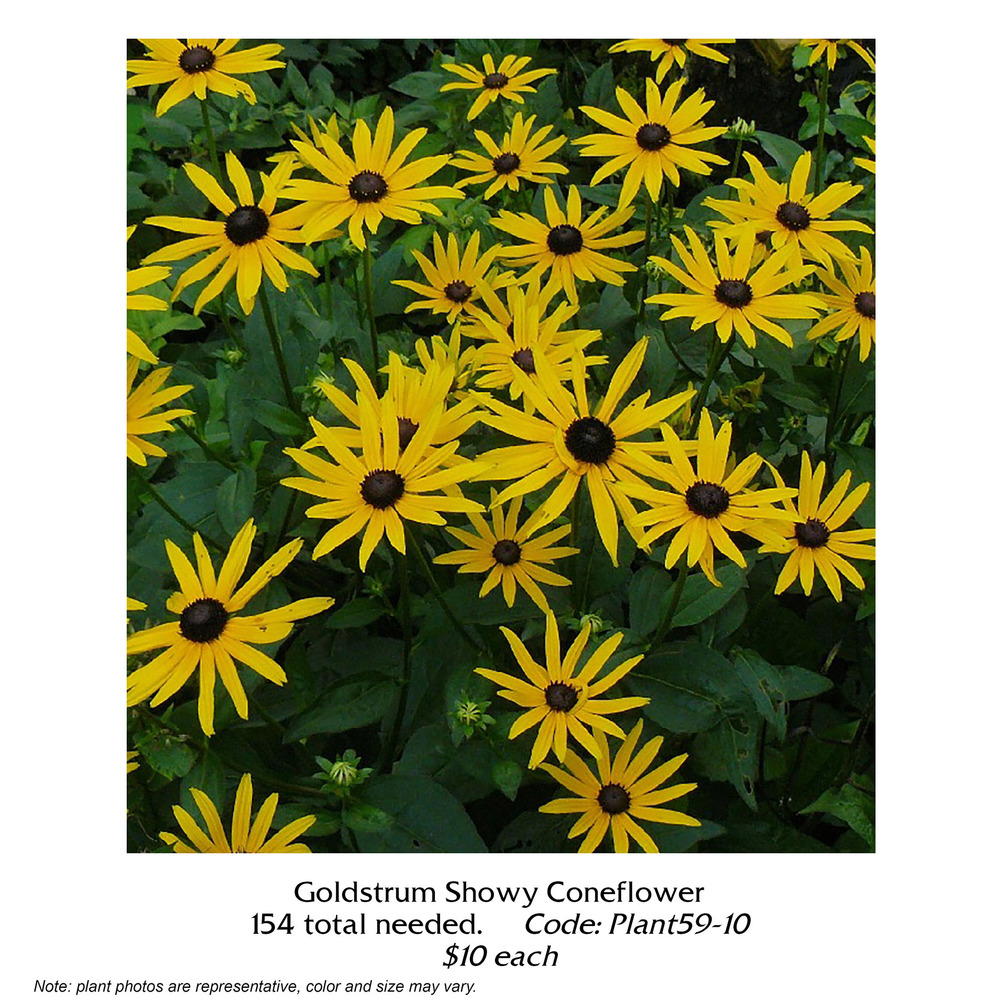 goldstrum showy coneflower.jpg