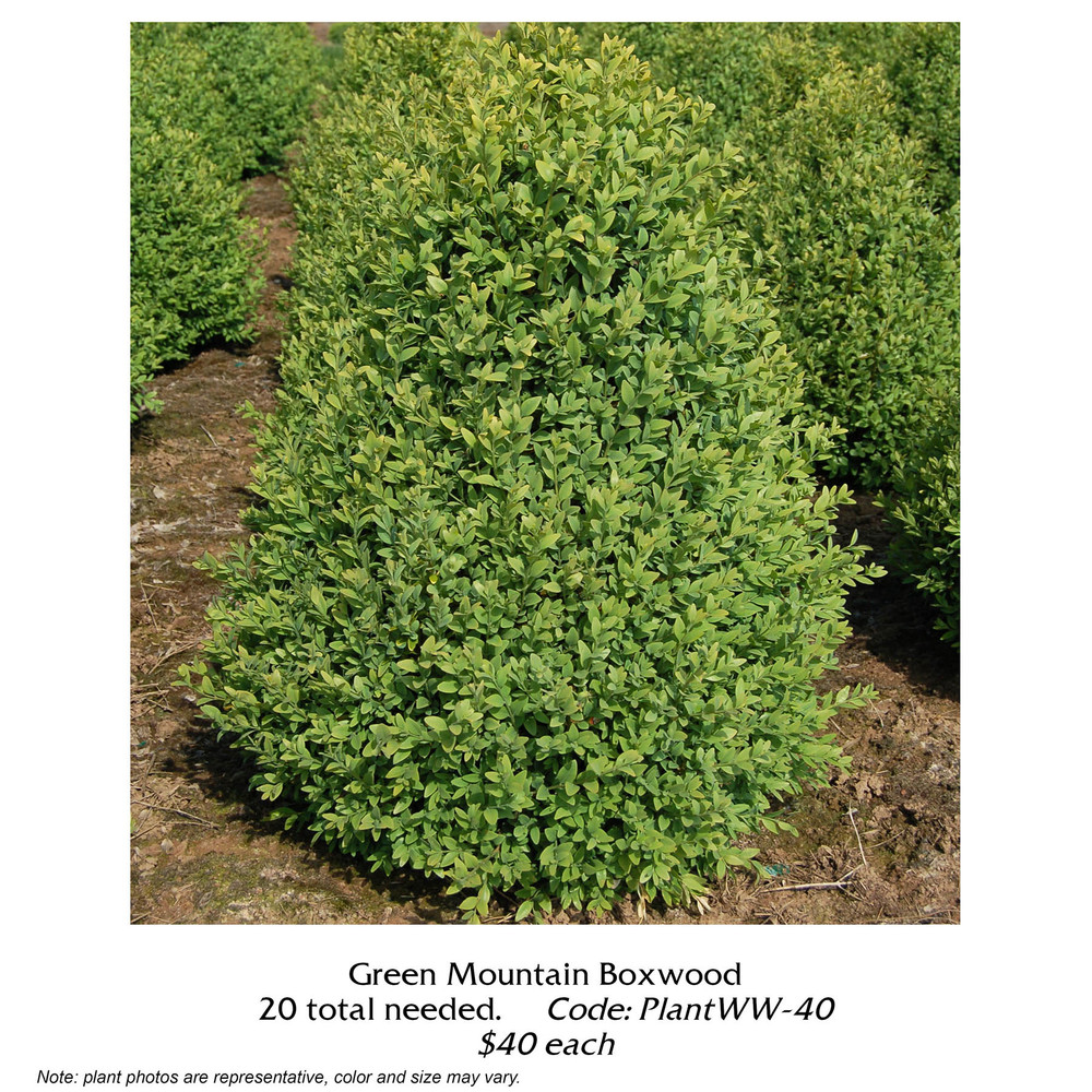 green mountain boxwood.jpg