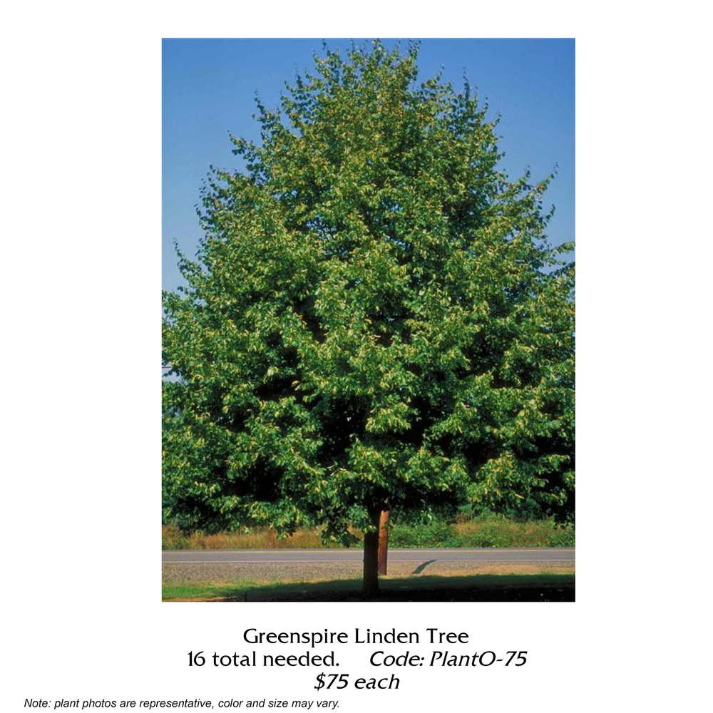 Greenspire Linden Tree.jpg