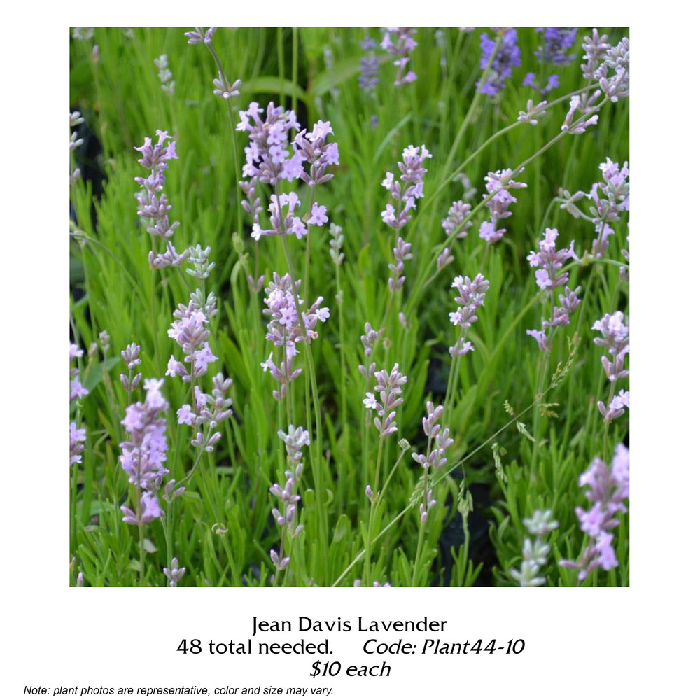 Jean Davis Lavender.jpg