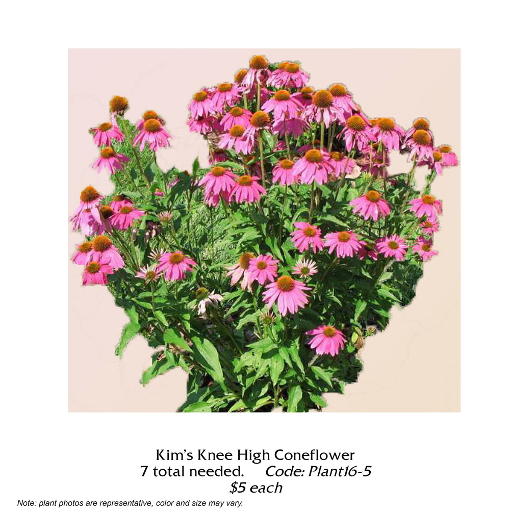 Kims Kneehigh Coneflower.jpg