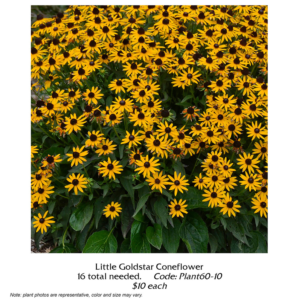 little goldstar coneflower.jpg