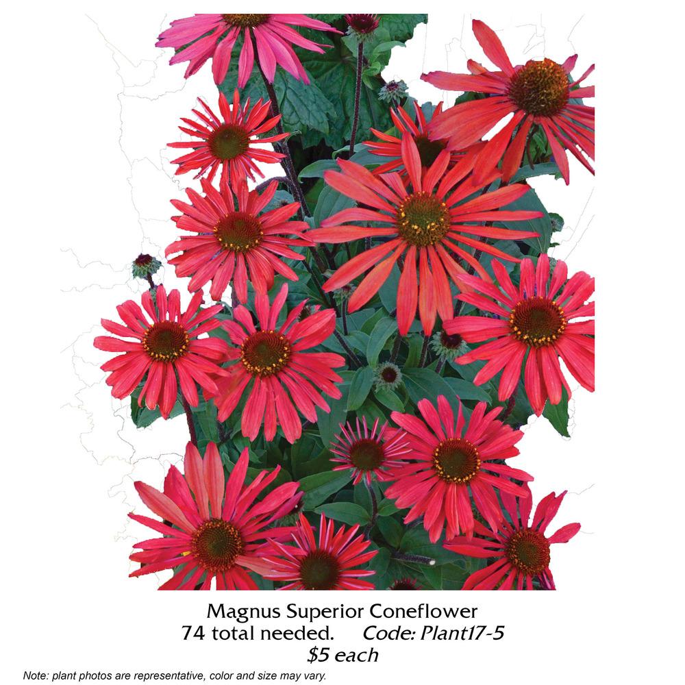 Magnus Superior Coneflower.jpg