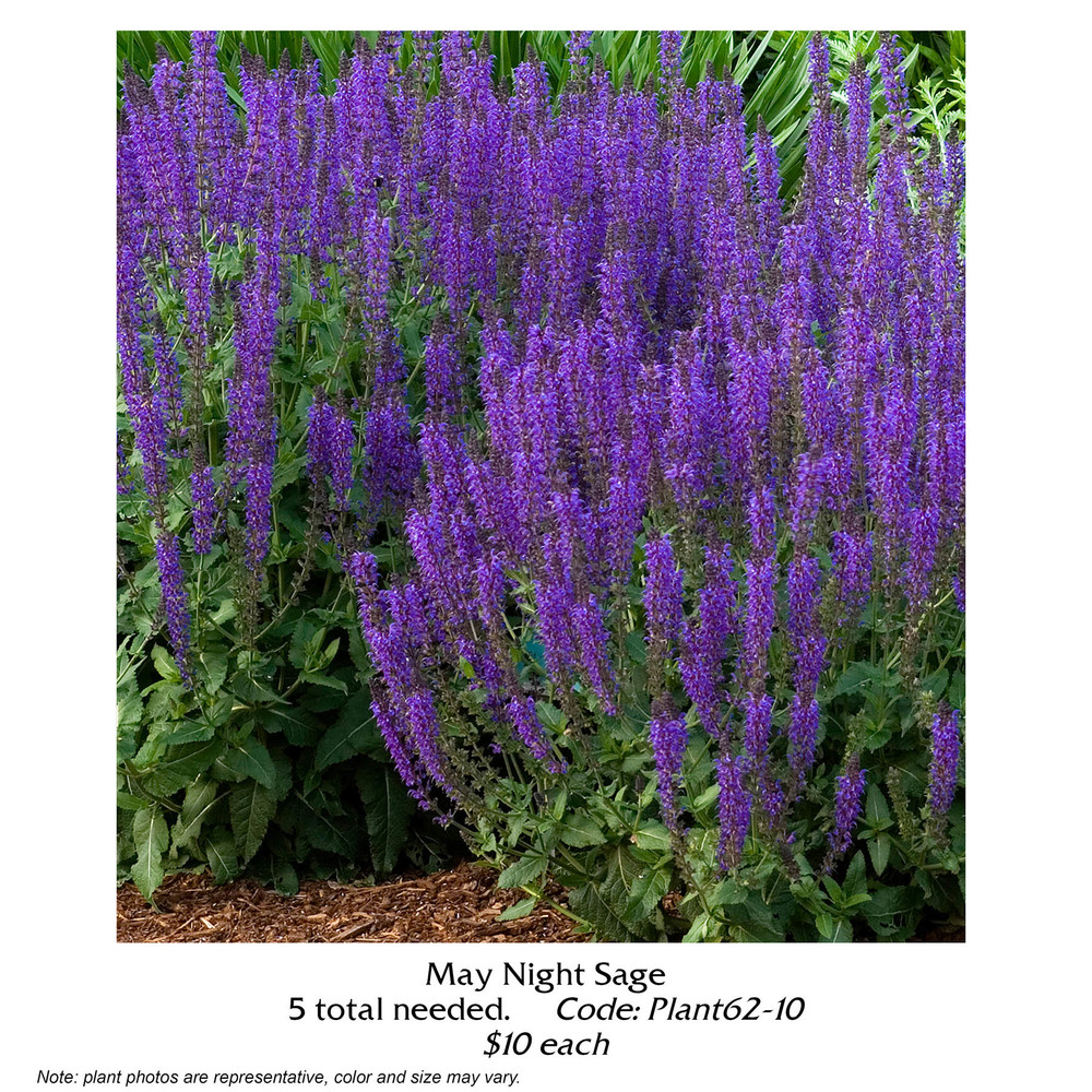 may  night sage.jpg