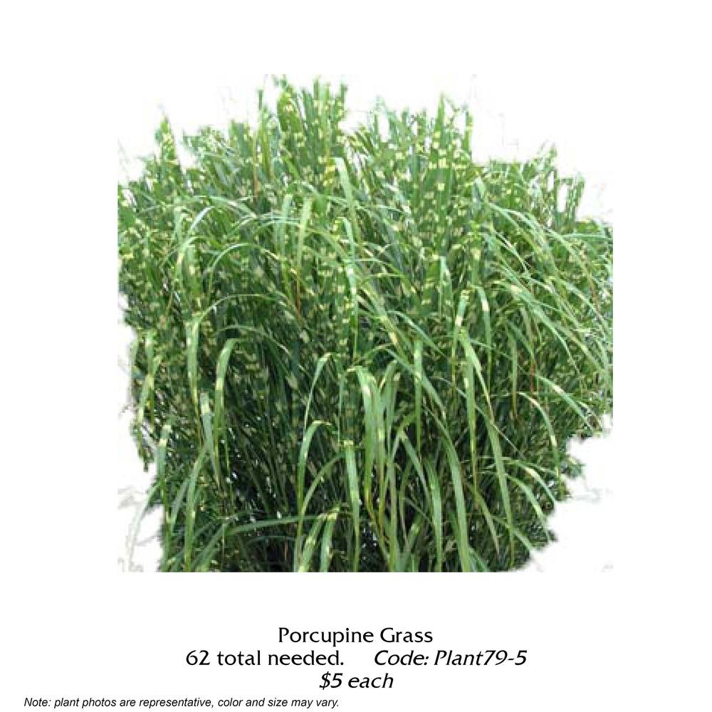 porcupine grass.jpg
