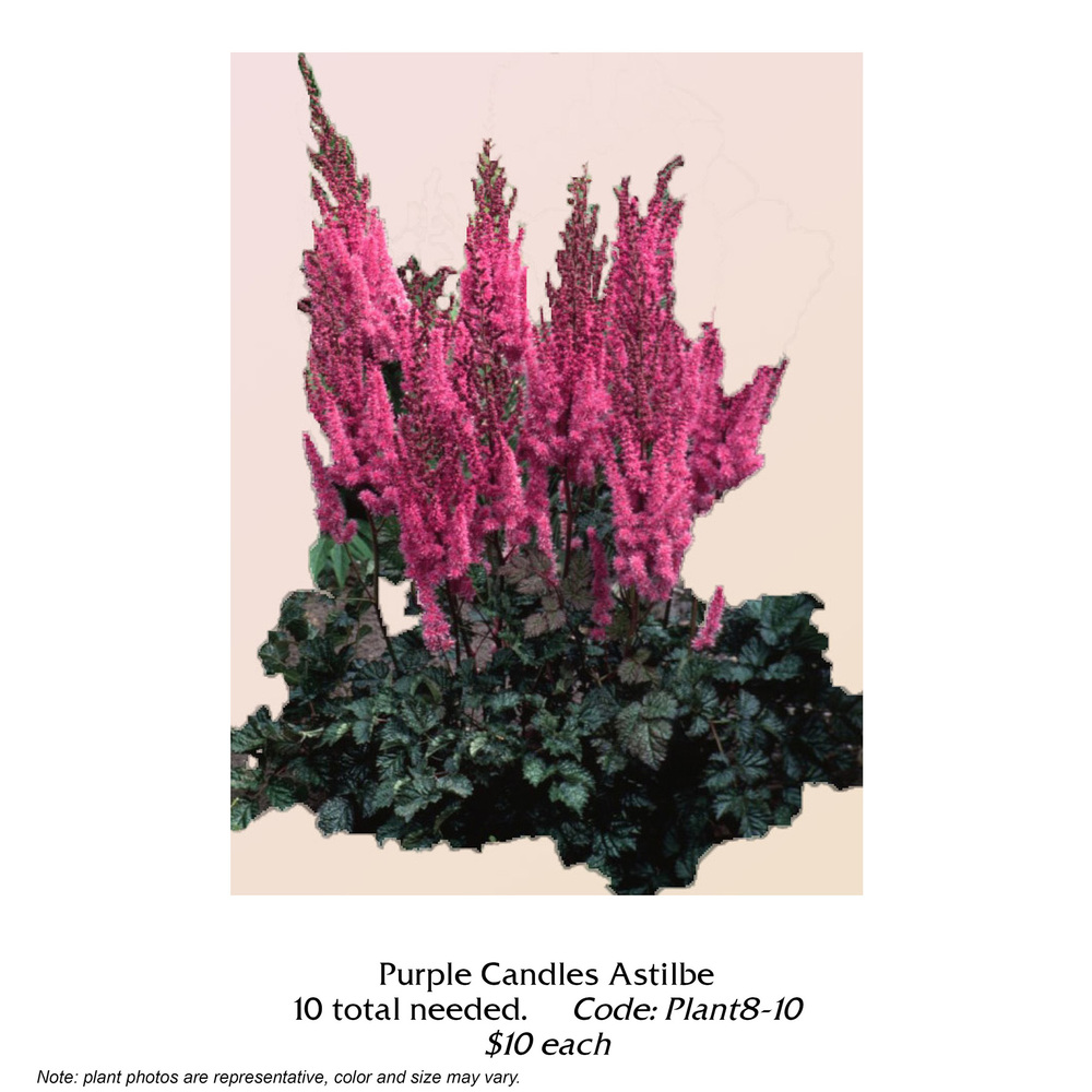 Purple Candles Astilbe.jpg