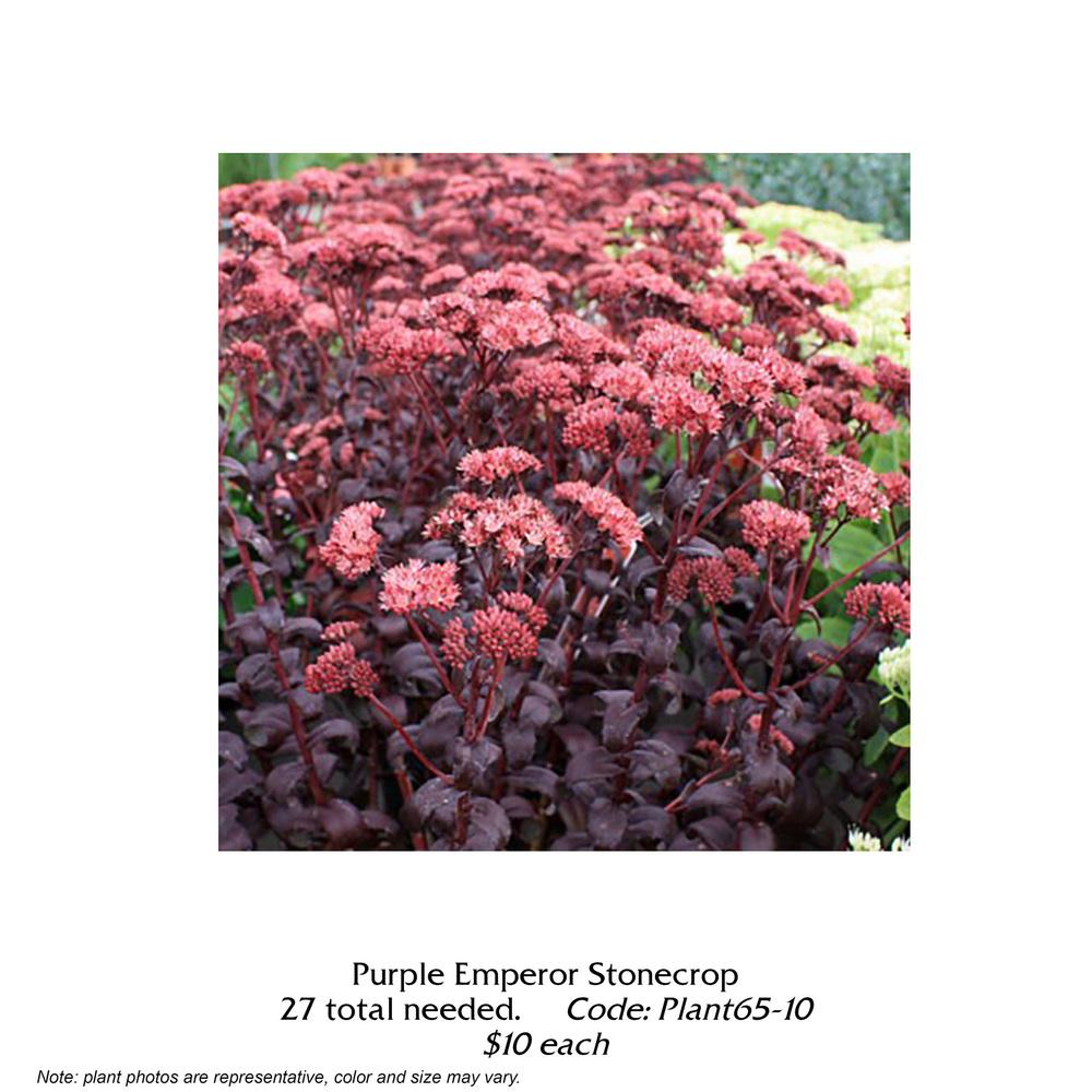 purple emperor stonecrop.jpg