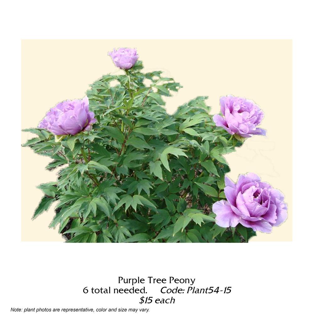 purple tree peony.jpg