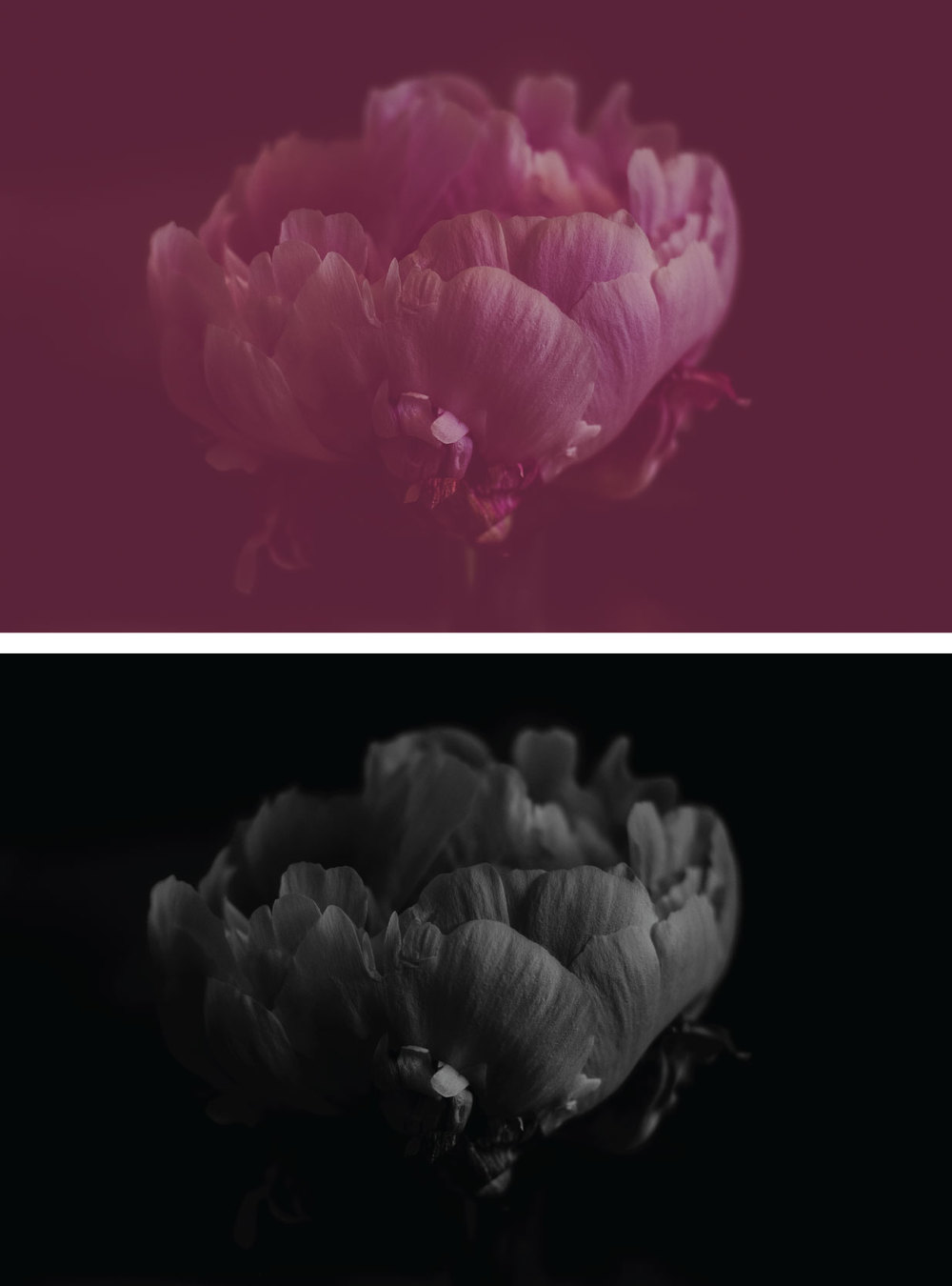 peonies, peony flowers, flower photography, peony, black and white, rose colored photo, pretty presets