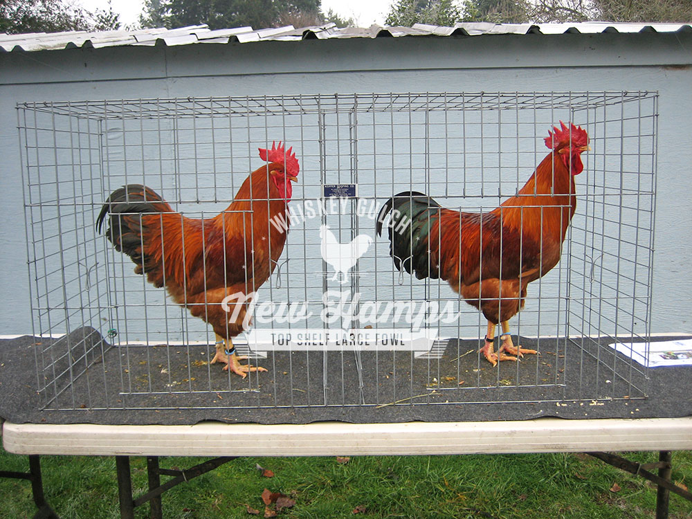 new-hamp-chicken-roosters-01.jpg