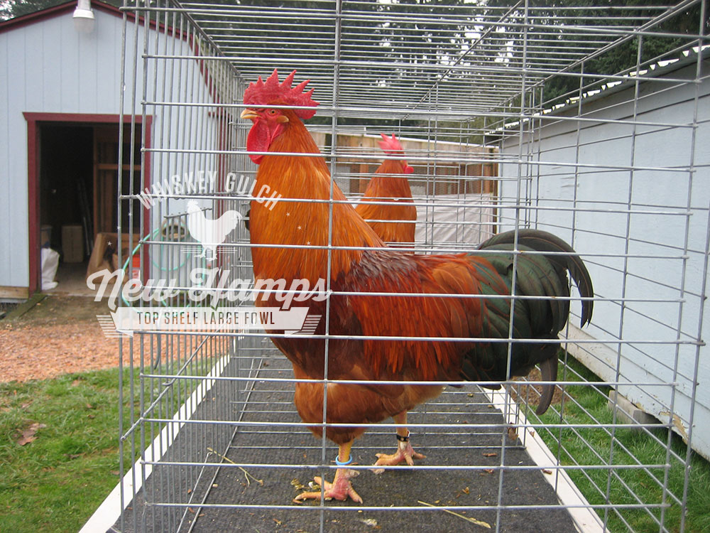 new-hamp-chicken-roosters-02.jpg