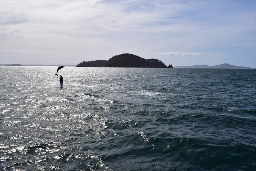 there were so many dolphins during our Bay of Islands cruise