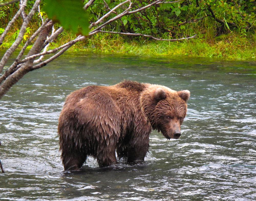 brown bear 2 willwaw 2.jpg