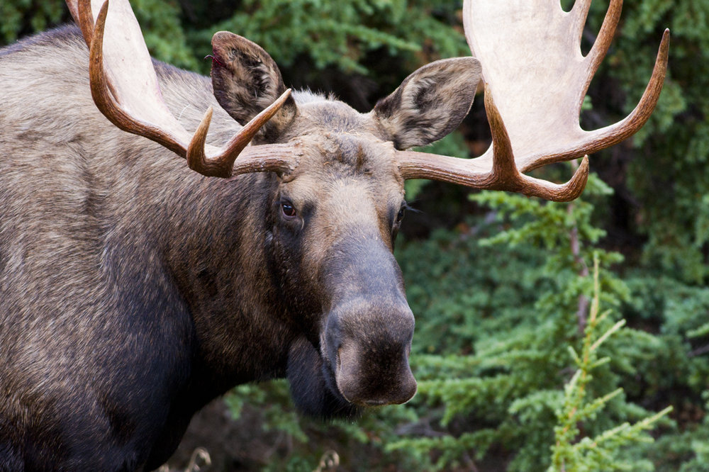 moose male.jpg
