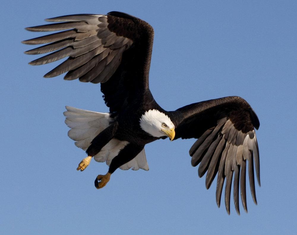 feeding eagles 91.jpg